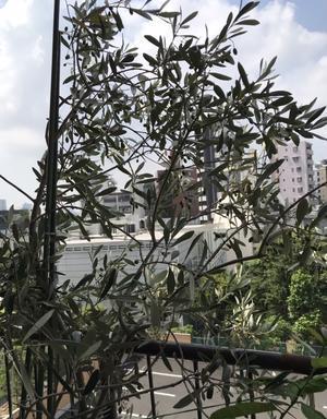 ベランダの植物達とアストランティア - 青山ぱせり日記