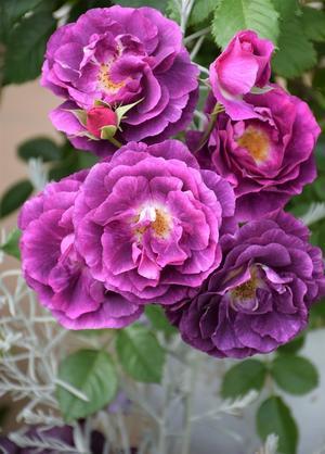 5月のバラを振り返り1. -
