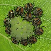 キマダラカメムシの幼虫 Erthesina fullo - 写ればおっけー2