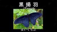 はいくらぶ『黒揚羽』 - always over the moon