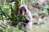 タケノコを食べるお猿 - 鳥と共に日々是好日③