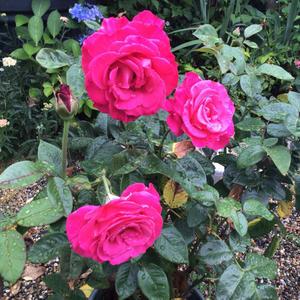 3年育てて清楚さが抜けてしまったバラと今咲いているペチュニア達 - バラやらナンやら