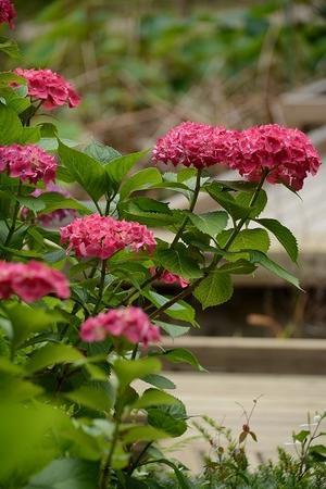 あじさい - 京都府立植物園 - 一年365日 京日和 Ⅱ