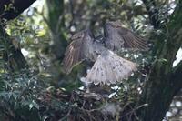 オオタカお父さんの正面突入 - 気まぐれ野鳥写真