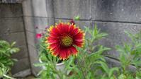 ガイラルディア開花と今日のお花 - Ree's Blog