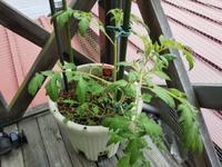 トマト急に大きくなった♪・・・肥料多過ぎた - 化学物質過敏症・風のたより2