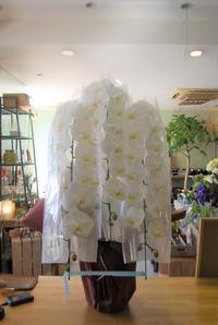 胡蝶蘭のご注文 - 花と暮らす店 木花 Mocca