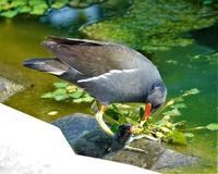 小さな池でのバンの親子 - 皇 昇