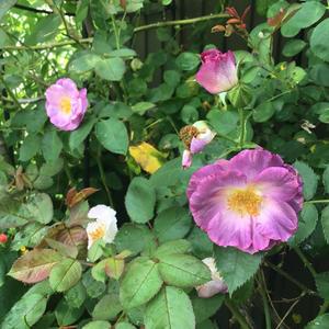 デスデモーナの2番花とこぼれ種からのペチュニア - バラやらナンやら