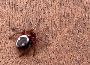 ヒラタグモ、ササグモ、ズグロオニグモ(扁蜘蛛、笹蜘蛛、頭黒鬼蜘蛛) - 世話要らずの庭