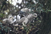 オオタカ雛の 筆毛 (ふでげ) - 気まぐれ野鳥写真