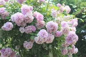 最愛のバラ♪レイニーブルー - ペコリの庭と時々パン