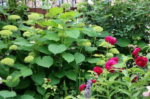ダーシーバッセルとアナベル - my small garden~sugar plum~