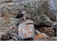 今年のハヤブサ(2021)-12岩の上で羽ばたき練習 - 野鳥の素顔 <野鳥と日々の出来事>