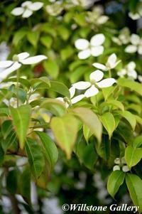 撮りたて花だより_ヤマボウシ - 花と風景の写真集_撮りたて花だより