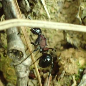 トゲアリPolyrhachis lamellidens - 写ればおっけー2