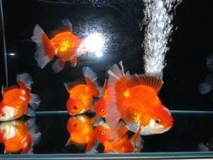 6月18日 新着金魚のご案内です。 - フルタニ金魚倶楽部blog