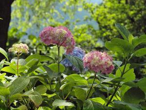 『根尾川沿いの紫陽花園』 - 自然風の自然風だより