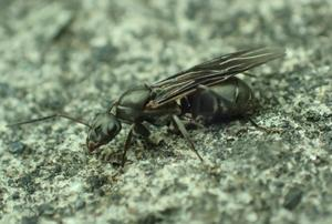 クロヤマアリの一種の有翅女王? - 写ればおっけー2