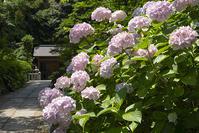 葛原岡神社の紫陽花その1 - エーデルワイスブログ