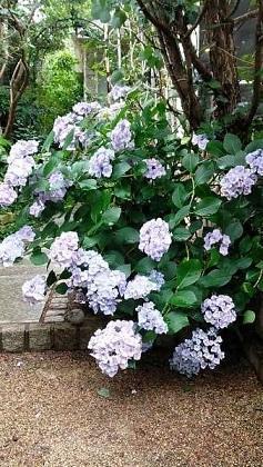 アプローチの紫陽花と 陶器のネームプレート - ハーブ教室 と カフェ ~chant rose シャンテ・ロゼ~       植物の不思議な力に守られる暮らし