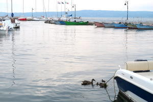 若きモンタルバーノとリーヴィア、ミミとの出会い、ボルセーナ湖 マガモの親子の写真を添えて - イタリア写真草子