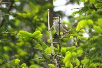 2021-092 高原で出会ったウグイス - 近隣の野鳥を探して2