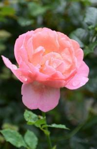 梅雨の時期のバラのお手入れ -  日本ローズライフコーディネーター協会