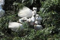 食欲旺盛な幼鳥たち:コサギ/ともかく突き進め、あるのみ? - 赤いガーベラつれづれの記
