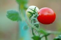 ミニトマト - さぬき風花
