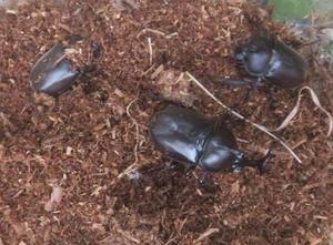 畑のカブトムシようやく登場 - ゆうちゃん所長のひとりごと