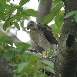 白い羽に、茶色の羽が生え始めたヒナたち(ツミの子育て記録) - 旅プラスの日記