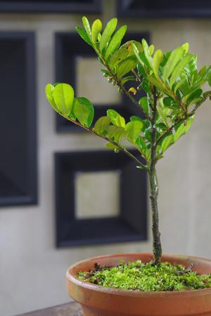 結実、ハマヒサカキ。 - 盆栽日記-the experimental bonsai diary-