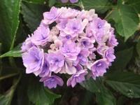 シャーロットちゃん - だんご虫の花