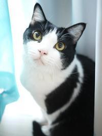 猫のお留守番 ステラちゃん編。 - ゆきねこ猫家族