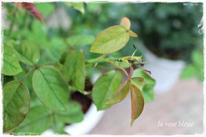 バラゾウムシにやられるとこうなる - La rose 薔薇の庭