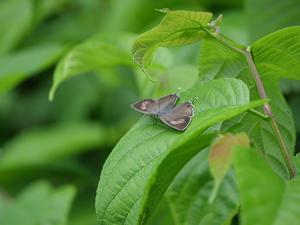 オオミドリシジミ雌開翅 他 - 風任せ自由人