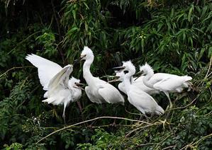 吉川=サギ山 - 関東界隈の野鳥達