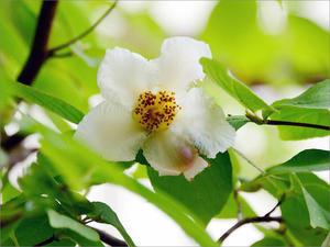 シャラ(ナツツバキ)の花(2021.06.22) -
