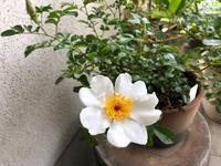 八重山イバラ - リリ子の一坪ガーデン