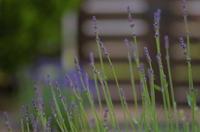*lavender* - bee !bee!!bee!!!