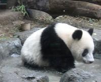 嬉しいニュース!上野のパンダ双子の赤ちゃん誕生 - 緑のかたつむり