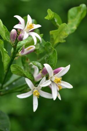 檸檬の花 -