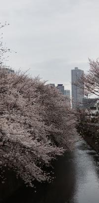 桜が恋しいです - 新田裕亮の公式グルメブログ