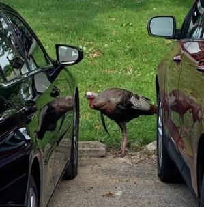 ゴルフ場で迷惑な七面鳥遭遇 - しんしな亭 in シンシナティ ブログ