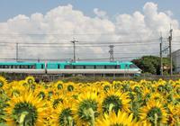ヒマワリと電車      6月26日 - ヤソッチひだまり写真館