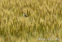 麦畑で「セッカ」さんに会えました^^ - ケンケン&ミントの鳥撮りLifeⅡ