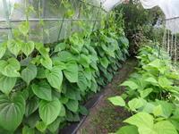 小菜園 - だんご虫の花