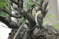 20210627 隣の庭の「シジュウカラ」雛 - 鳥撮り散歩
