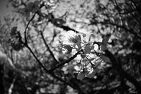 kawazu-sakura - nature